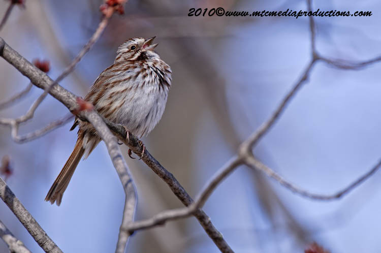 Song Sparrow Picture-55