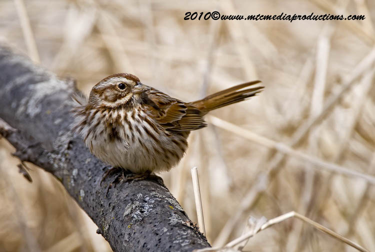 Song Sparrow Picture-56