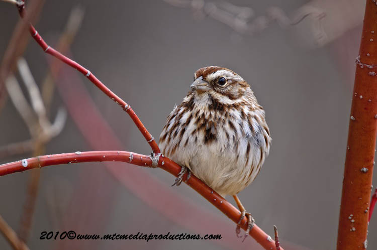 Song Sparrow Picture-57