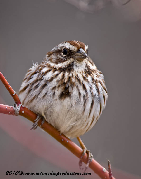 Song Sparrow Picture-58