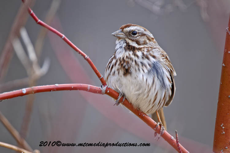 Song Sparrow Picture-59