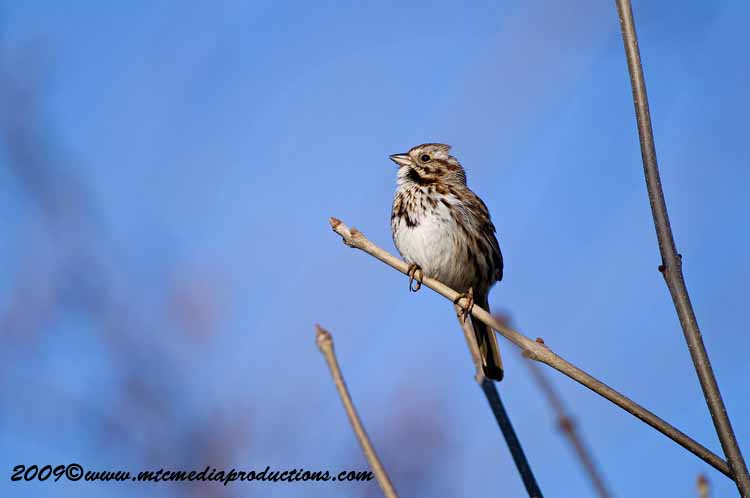 Song Sparrow Picture-05