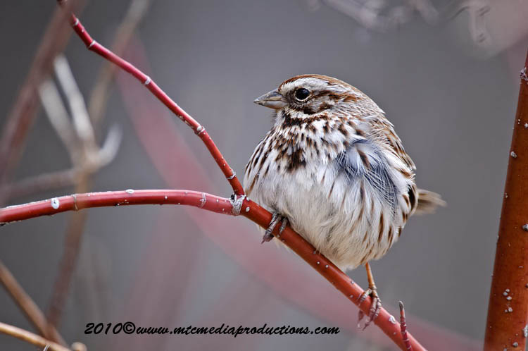 Song Sparrow Picture-60