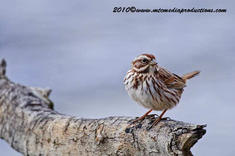Song Sparrow Picture-61