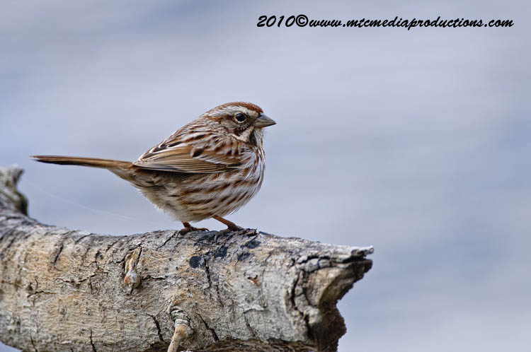Song Sparrow Picture-62