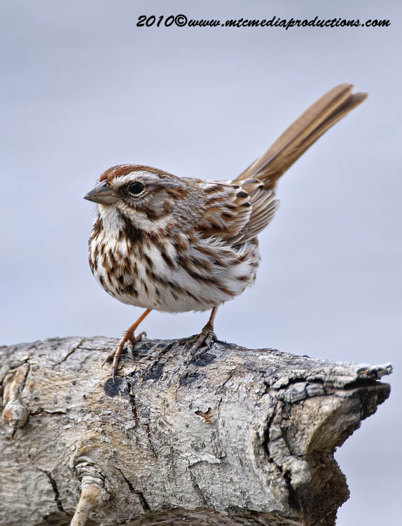 Song Sparrow Picture-63