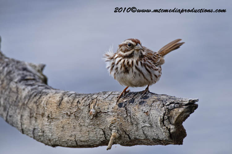 Song Sparrow Picture-64