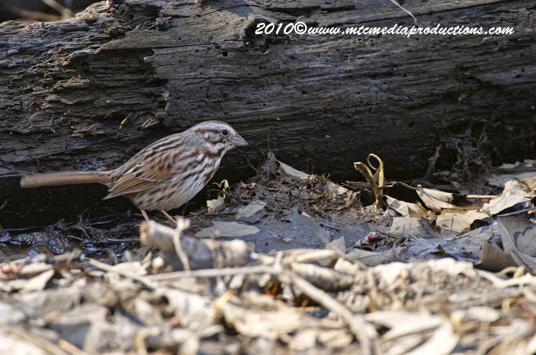 Song Sparrow Picture-66