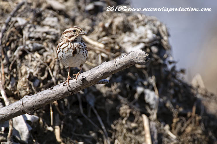Song Sparrow Picture-67