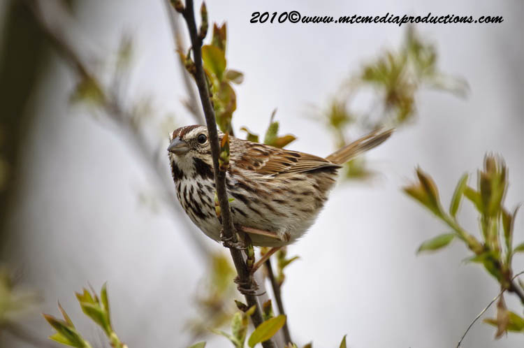Song Sparrow Picture-68