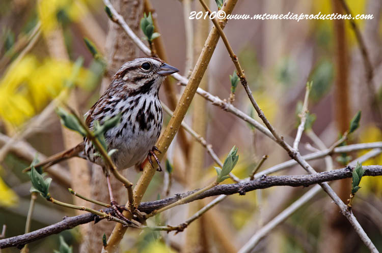 Song Sparrow Picture-69