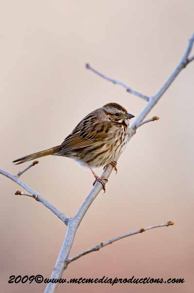 Song Sparrow Picture-07