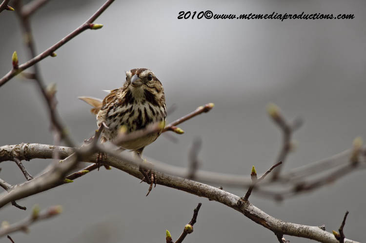 Song Sparrow Picture-70