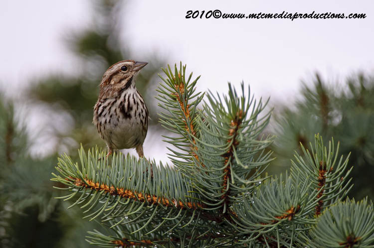Song Sparrow Picture-71
