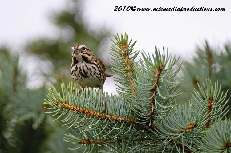Song Sparrow Picture-72