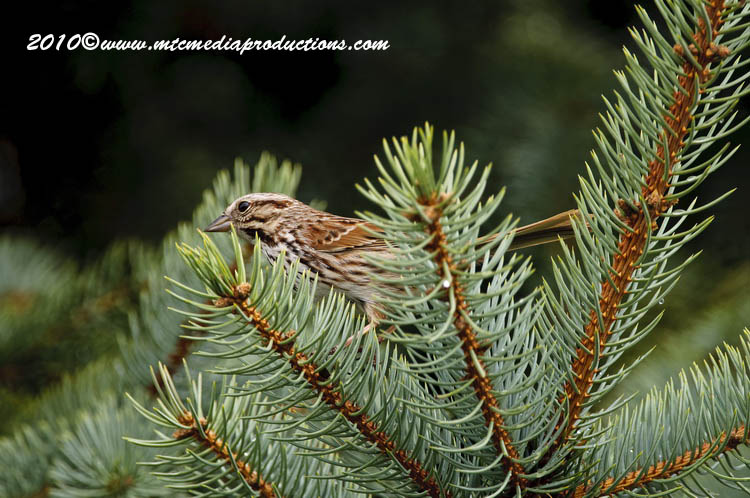 Song Sparrow Picture-73