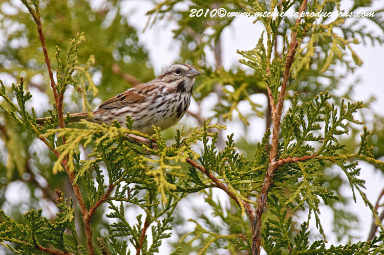 Song Sparrow Picture-74