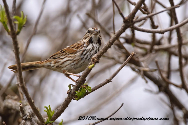 Song Sparrow Picture-75