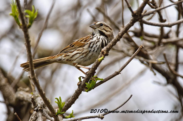 Song Sparrow Picture-76