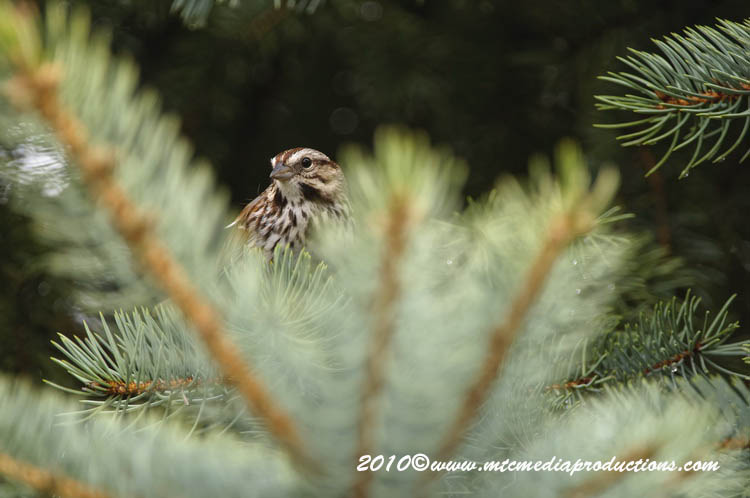 Song Sparrow Picture-77