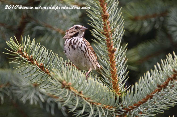 Song Sparrow Picture-78