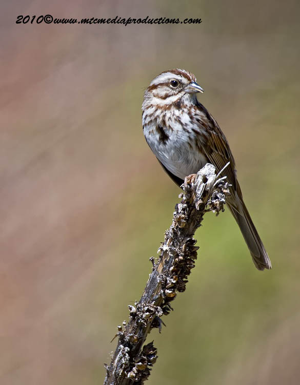 Song Sparrow Picture-79