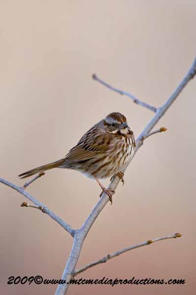 Song Sparrow Picture-08