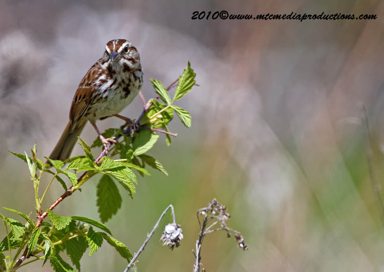 Song Sparrow Picture-80