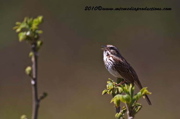 Song Sparrow Picture-81