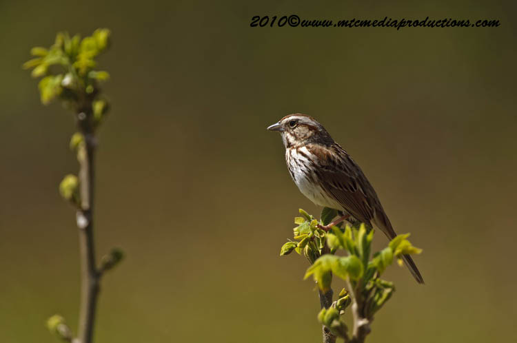 Song Sparrow Picture-82