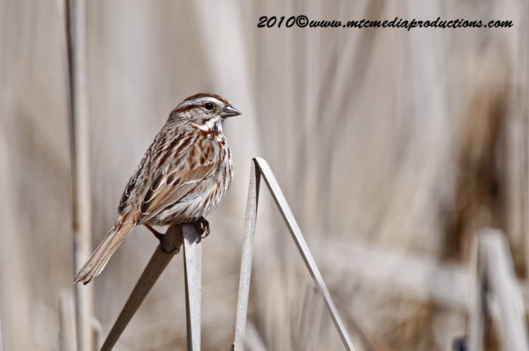 Song Sparrow Picture-84