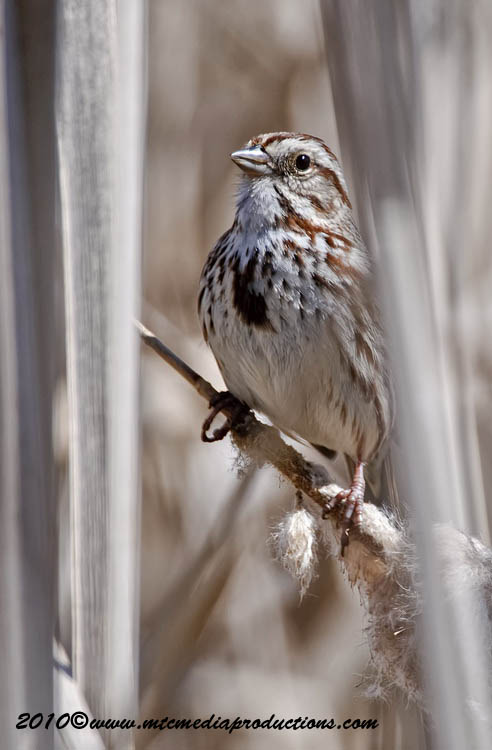 Song Sparrow Picture-85