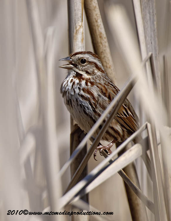 Song Sparrow Picture-86