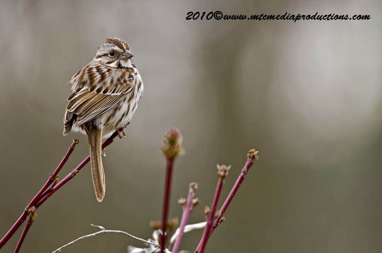 Song Sparrow Picture-87