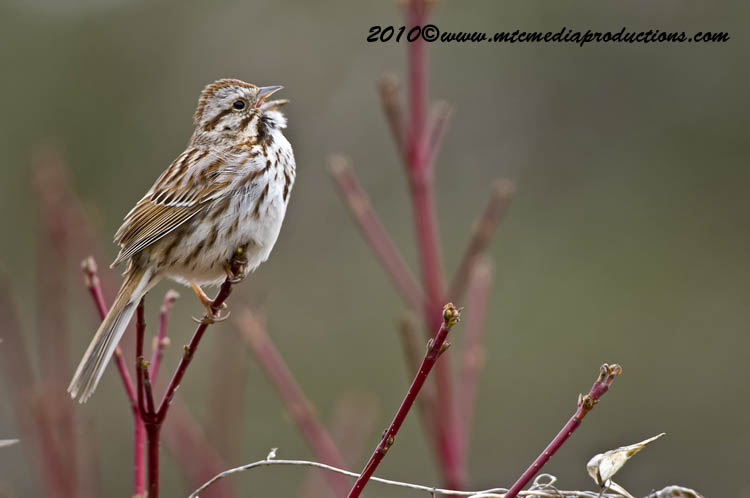 Song Sparrow Picture-88