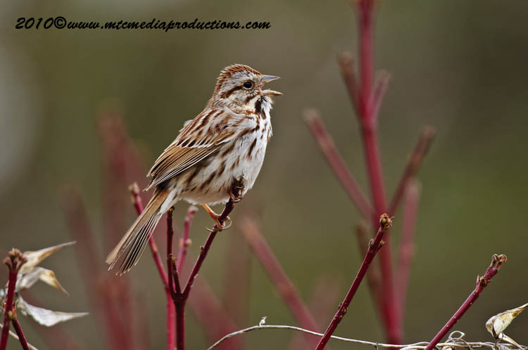 Song Sparrow Picture-89