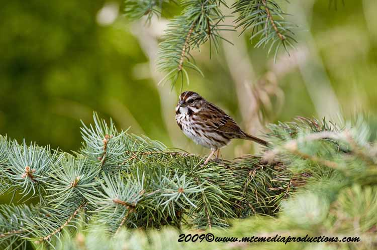 Song Sparrow Picture-09