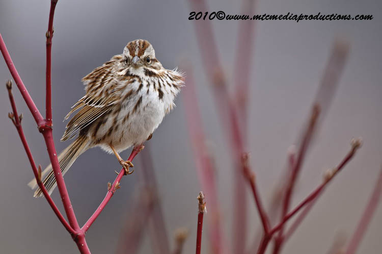 Song Sparrow Picture-90