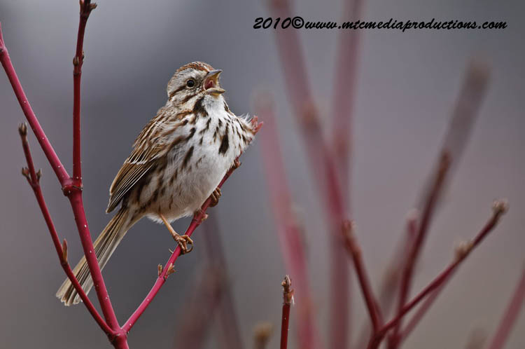 Song Sparrow Picture-91