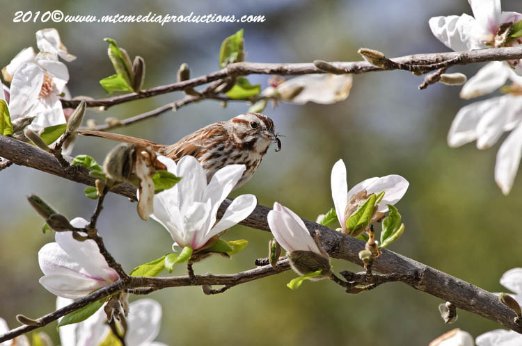 Song Sparrow Picture-92