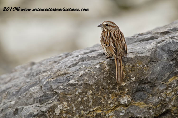 Song Sparrow Picture-93