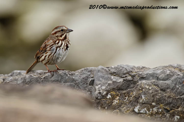 Song Sparrow Picture-94