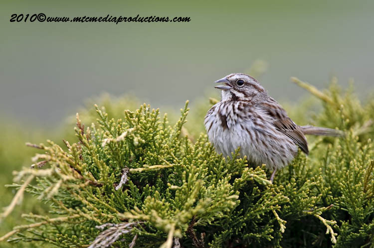 Song Sparrow Picture-95