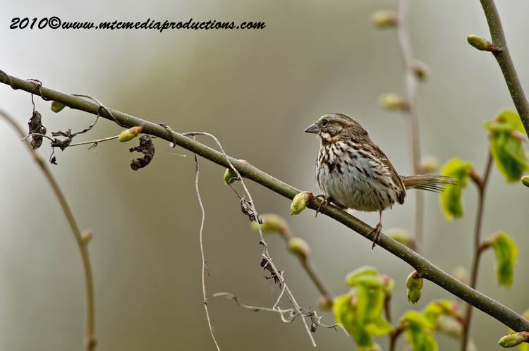 Song Sparrow Picture-96