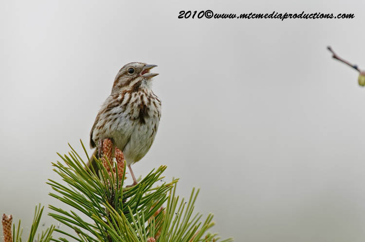 Song Sparrow Picture-97