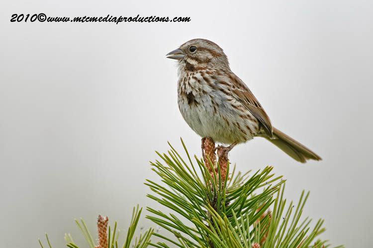 Song Sparrow Picture-98