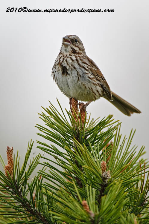 Song Sparrow Picture-99