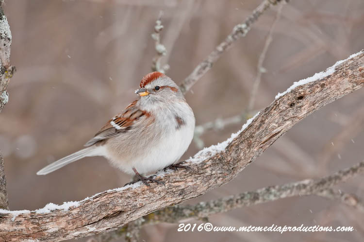 Tree Sparrow Picture