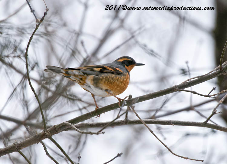 Varied Thrush Picture-01