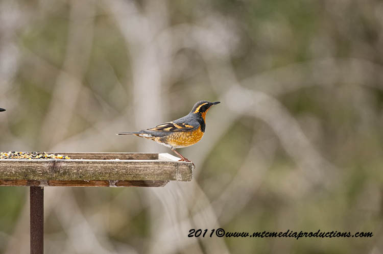Varied Thrush Picture-03